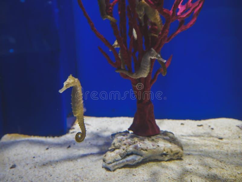 Cavalos marinhos no aquário fotos de stock royalty free
