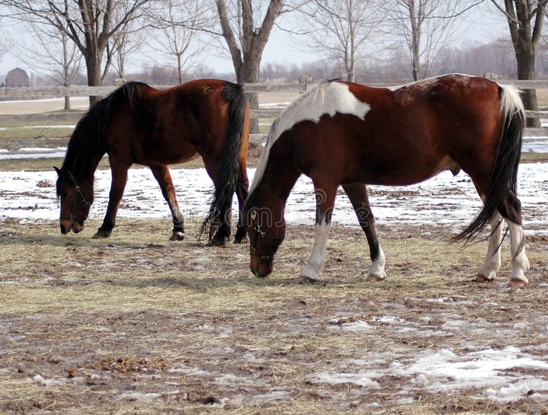 Download Cavalos Na Exploração Agrícola Foto de Stock - Imagem de competição, branco: 533110
