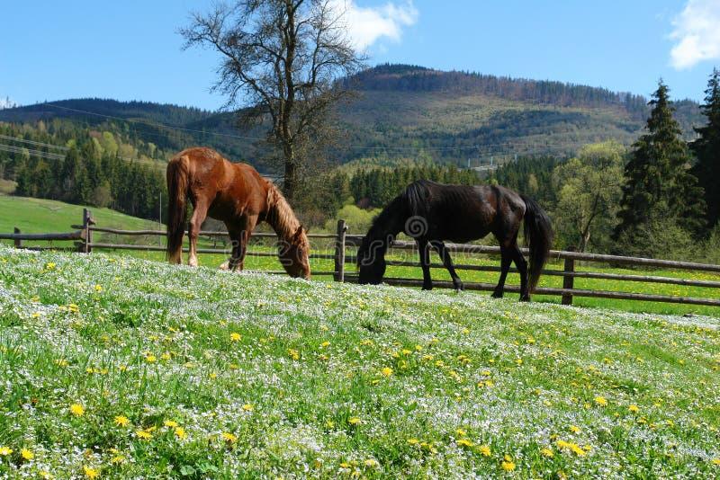 Cavalos na luz do sol foto de stock