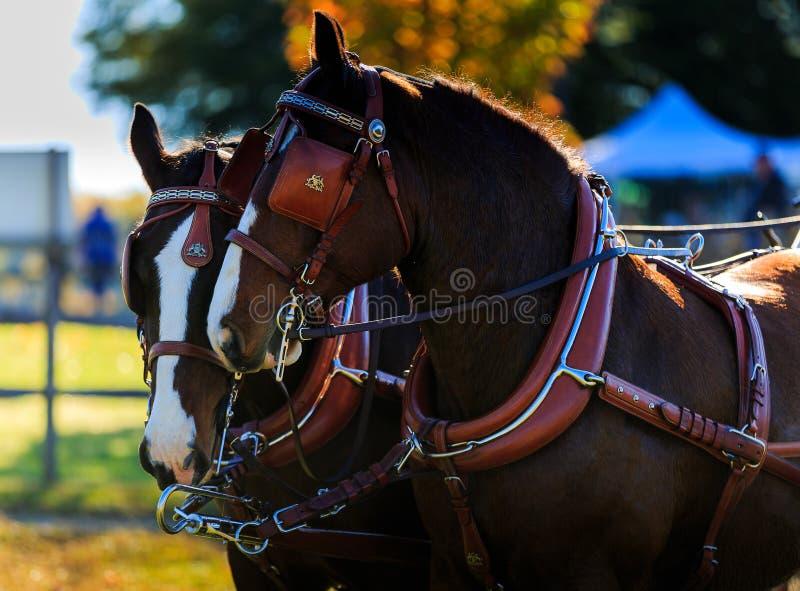 Cavalos na mostra do transporte com antolhos sobre imagens de stock