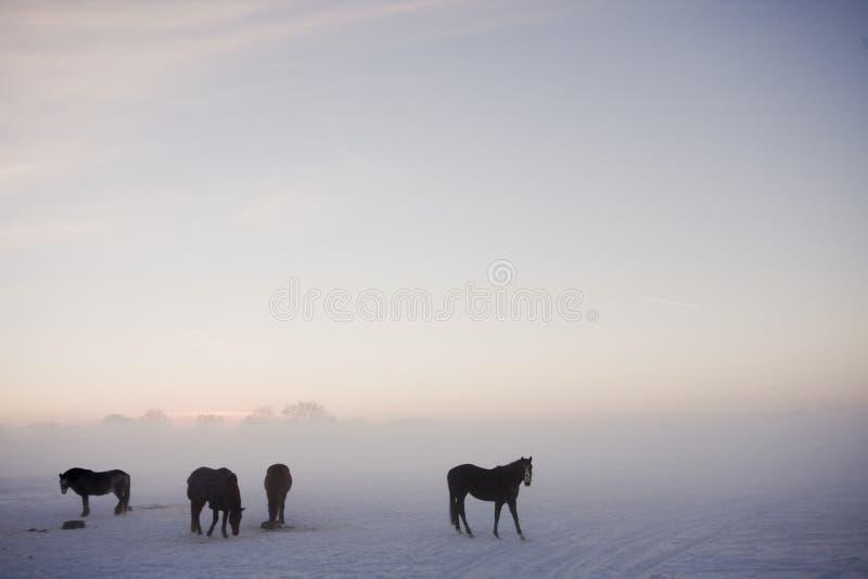 Cavalos na névoa do inverno fotos de stock royalty free
