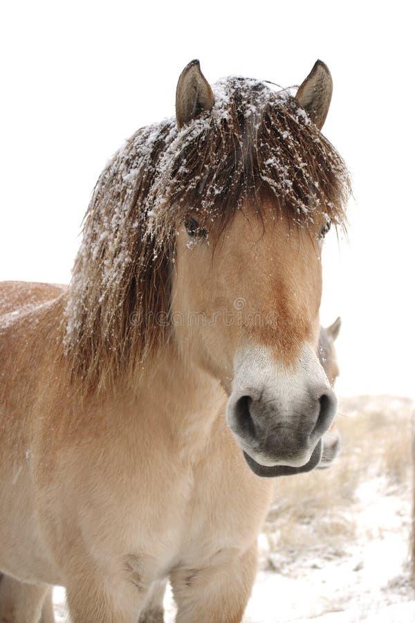 Cavalos na neve fotos de stock