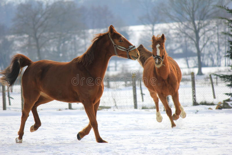 Cavalos na neve imagem de stock