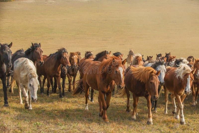 Cavalos na pradaria de Inner Mongolia, China foto de stock