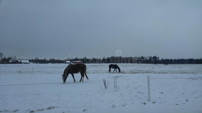 Cavalos no campo de neve fotos de stock