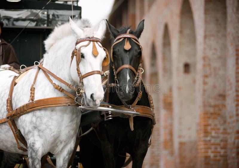 Cavalos no carro foto de stock royalty free