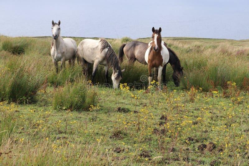 Cavalos no condado Clare Ireland 3 do campo fotos de stock royalty free