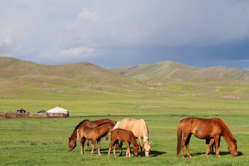 Cavalos no estepe do mongolian imagens de stock