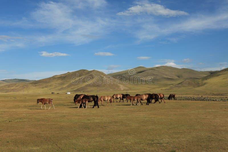 Cavalos no estepe do mongolian imagem de stock