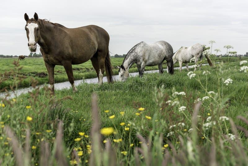 Cavalos no pasto Amsterdão Noord, Nederland imagem de stock