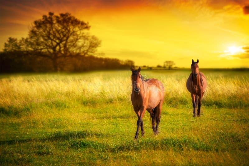 Cavalos no por do sol fotografia de stock