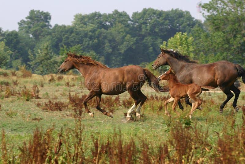 Cavalos no vôo foto de stock royalty free