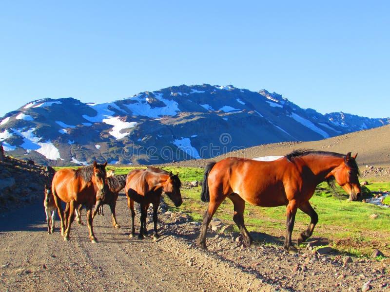 Cavalos nos Andes imagem de stock royalty free