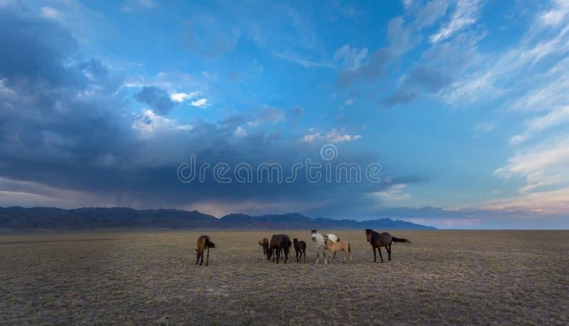 Cavalos nos cavalos de steppe fotos de stock