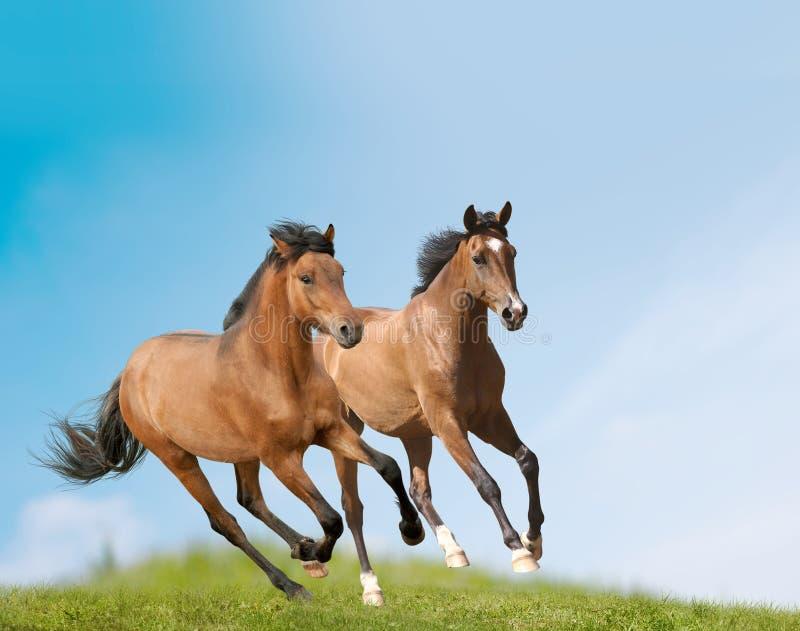 Cavalos novos fotos de stock royalty free