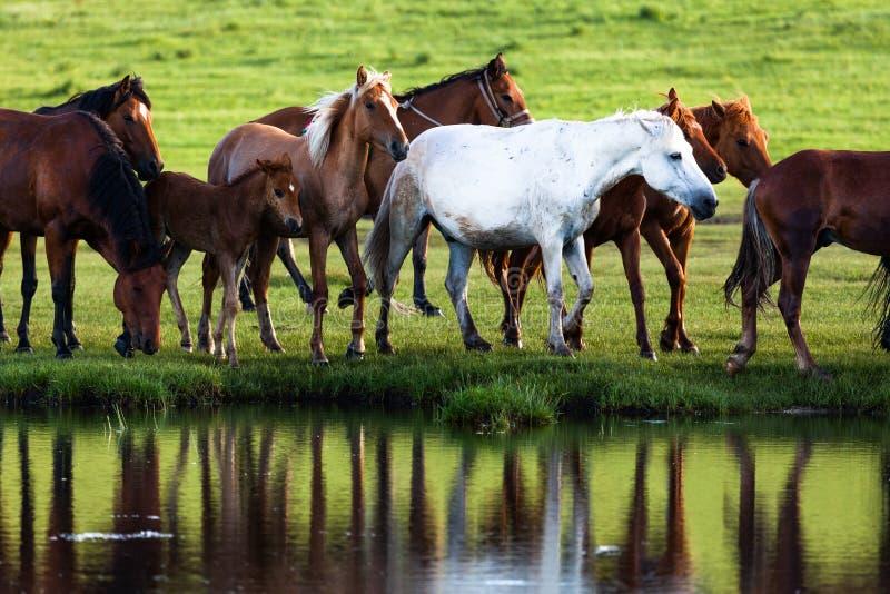 Cavalos pelo lago fotos de stock royalty free
