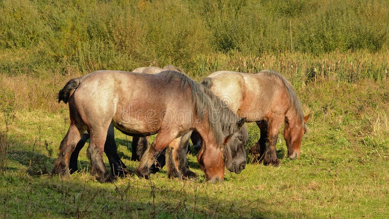 Cavalos pesados belgas de Brown que pastam na natureza imagem de stock royalty free