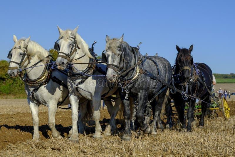 Cavalos pesados que ploughing a competição no SCHHA - associação pesada do cavalo da costa sul - mostra anual perto de Soberton 2 fotografia de stock royalty free