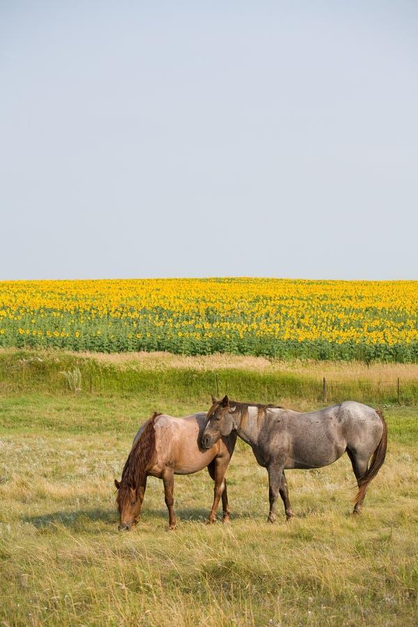 Cavalos por Girassol imagem de stock royalty free