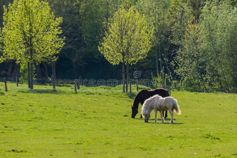 Cavalos pretos e marrons que andam sobre a pastagem na frente das árvores fotos de stock royalty free