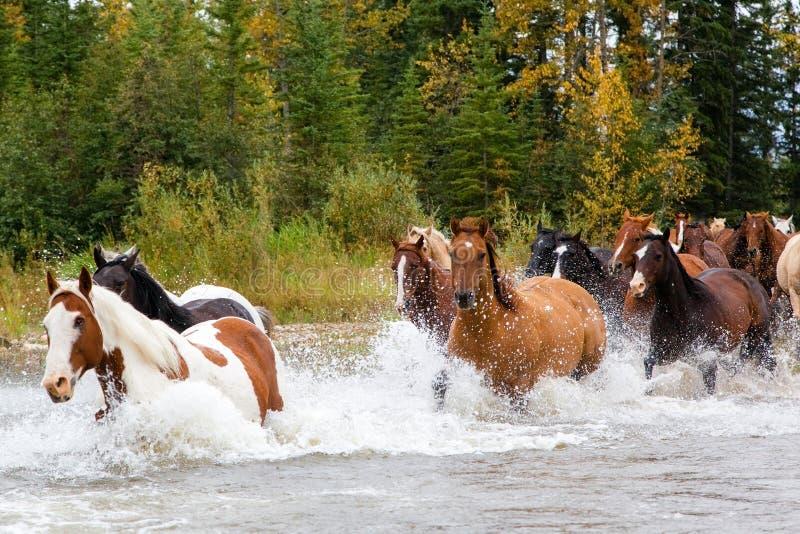 Cavalos que cruzam um rio em Alberta, Canadá fotos de stock royalty free