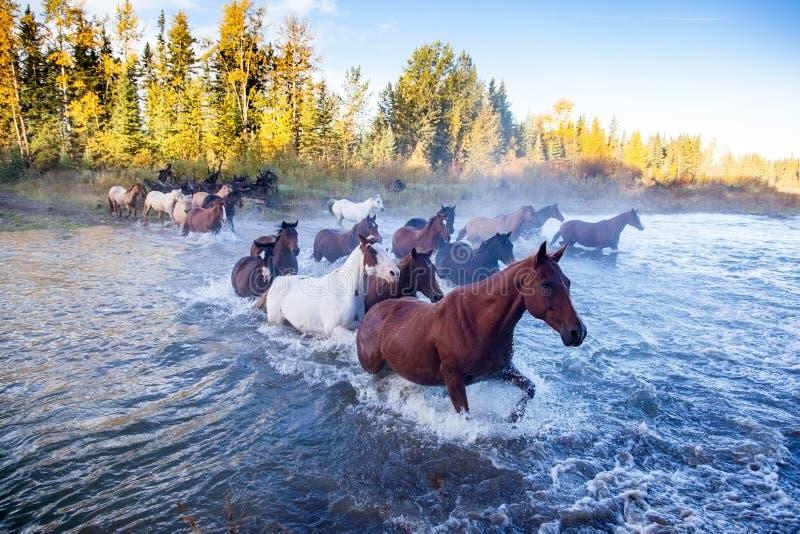 Cavalos que cruzam um rio em Alberta, Canadá foto de stock