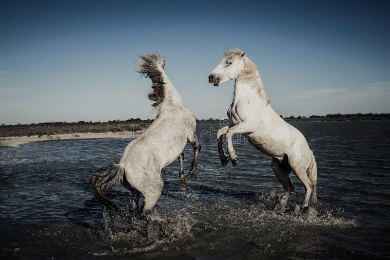 Cavalos que elevam e que jogam imagem de stock