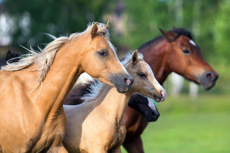 Cavalos que funcionam no campo imagens de stock royalty free
