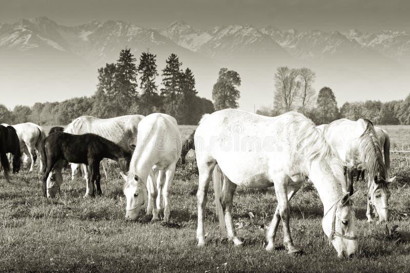 Download Cavalos que pastam foto de stock. Imagem de animal, égua - 29829192