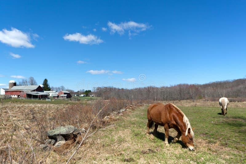 Cavalos que pastam no pasto fotografia de stock