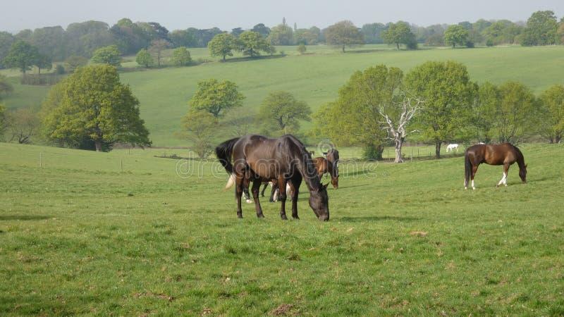 Cavalos que pastam no prado fotografia de stock royalty free