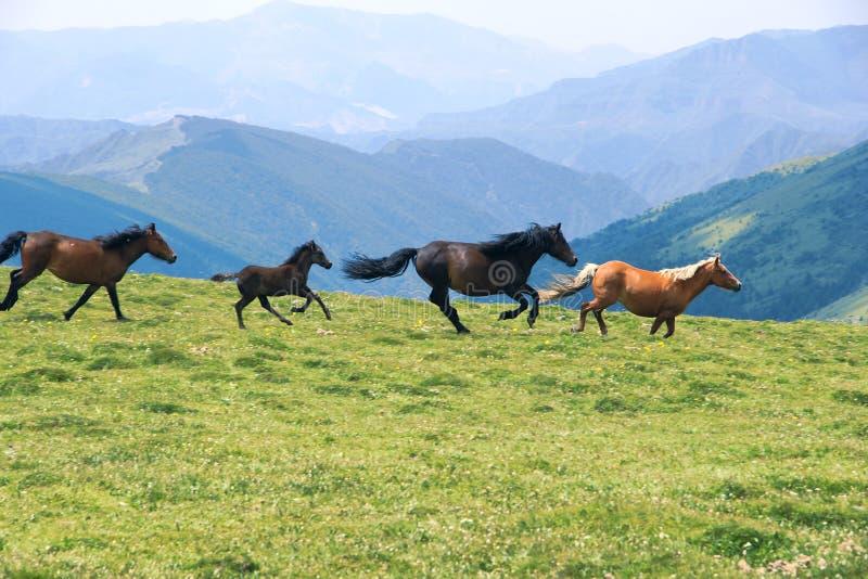 Cavalos Running imagem de stock royalty free