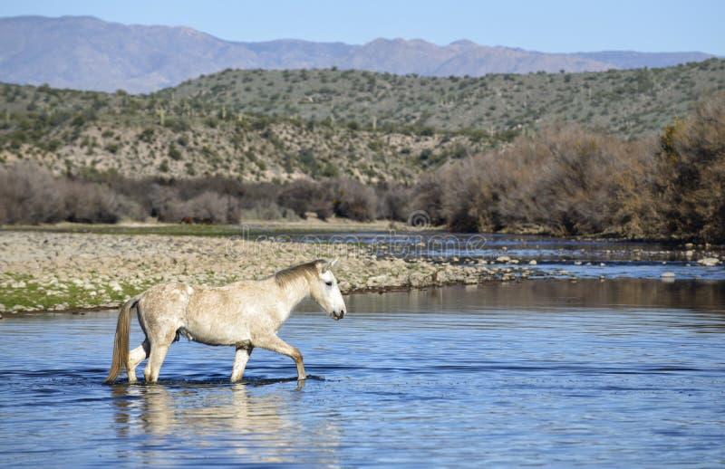 Cavalos selvagens de Salt River fotos de stock royalty free