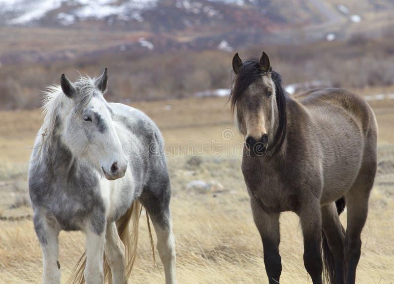 Cavalos selvagens de Wyoming imagem de stock