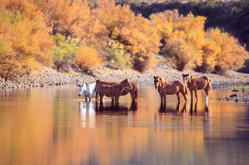Cavalos selvagens do mustang e cores da queda fotos de stock