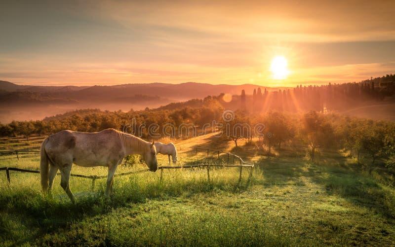 Cavalos selvagens e nascer do sol de tuscan imagem de stock