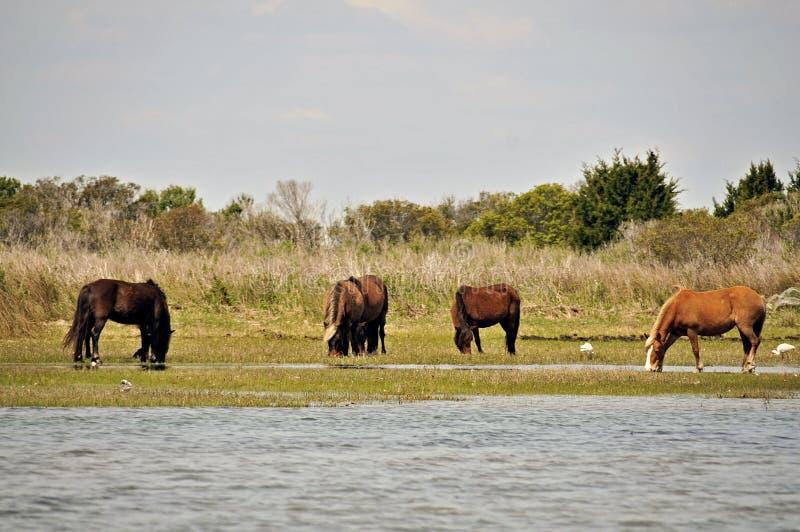 Cavalos selvagens em bancos de Shackleford fotografia de stock royalty free