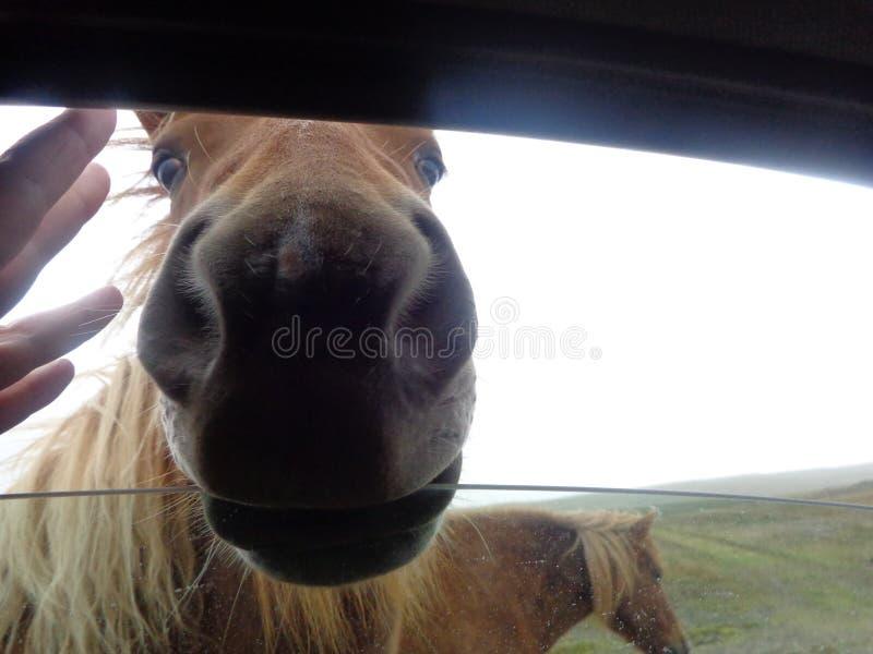 Cavalos selvagens em Isl?ndia fotografia de stock