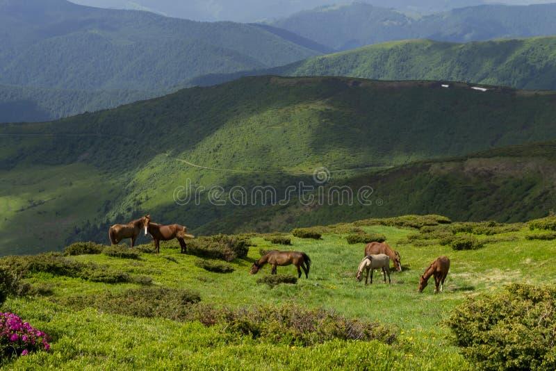 Cavalos selvagens em montes da montanha foto de stock