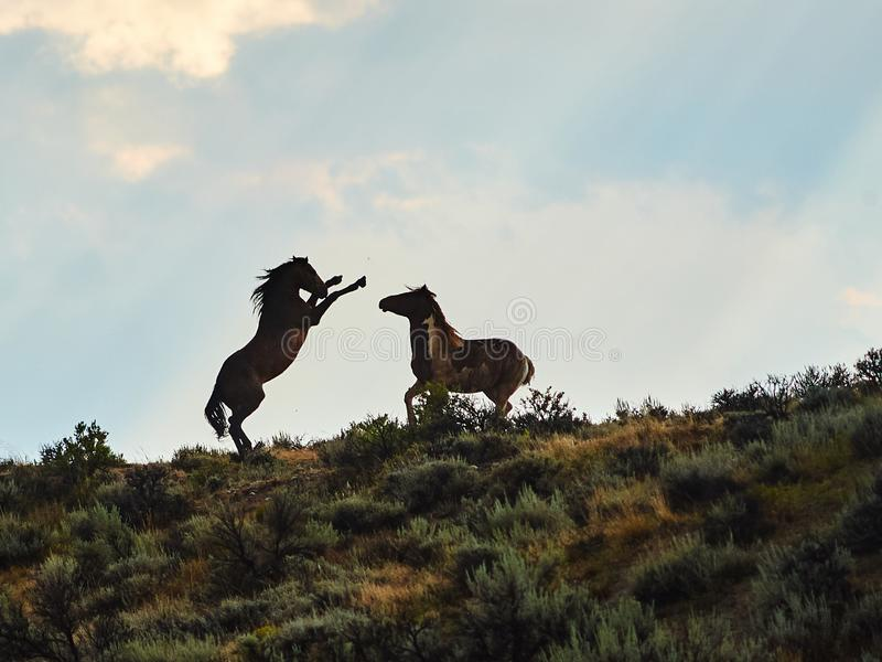 Cavalos selvagens mustang em uma colina fotografia de stock royalty free