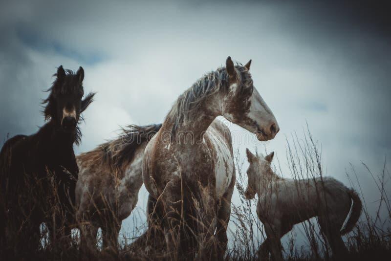 Cavalos selvagens nas pradarias imagem de stock royalty free