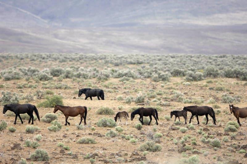 Cavalos selvagens no praire imagens de stock