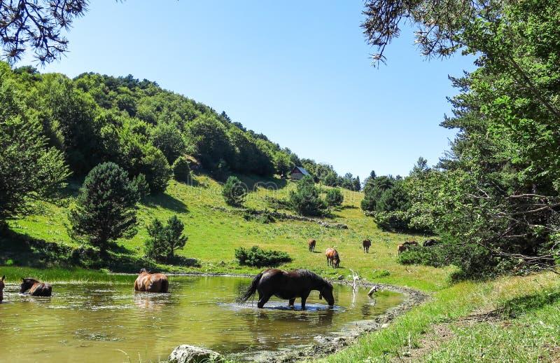 Cavalos selvagens no vale nos Pyrenees Catalan, Espanha de Aran foto de stock
