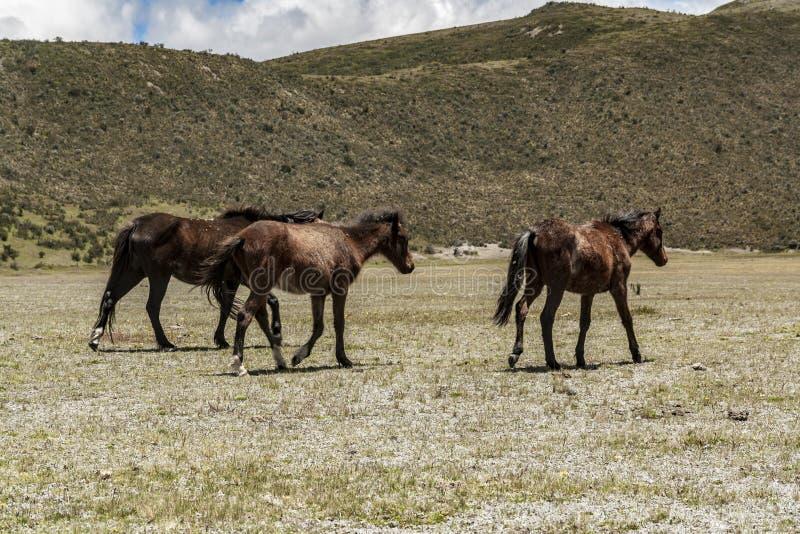 Cavalos selvagens que andam em um parque nacional fotografia de stock royalty free