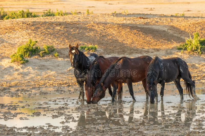 Cavalos selvagens que bebem em um deserto Waterhole imagem de stock royalty free