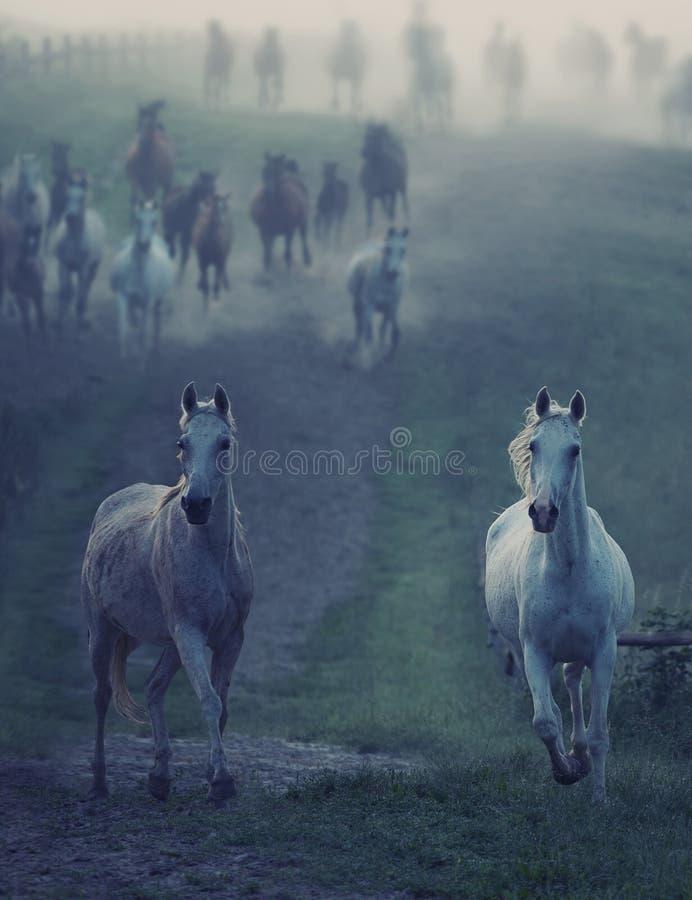 Cavalos selvagens que correm através do trajeto rular fotografia de stock