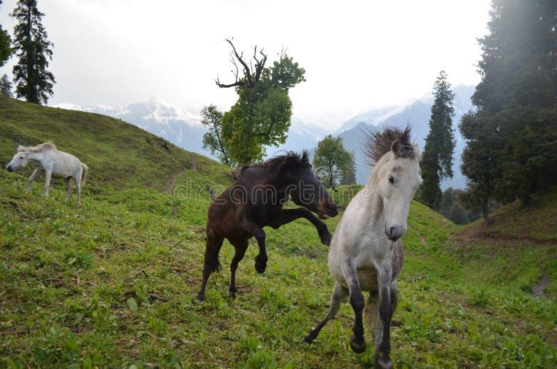 Cavalos selvagens que galopam em um campo imagem de stock