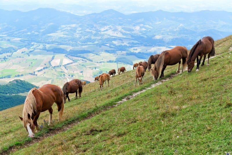 Cavalos selvagens que pastam imagem de stock