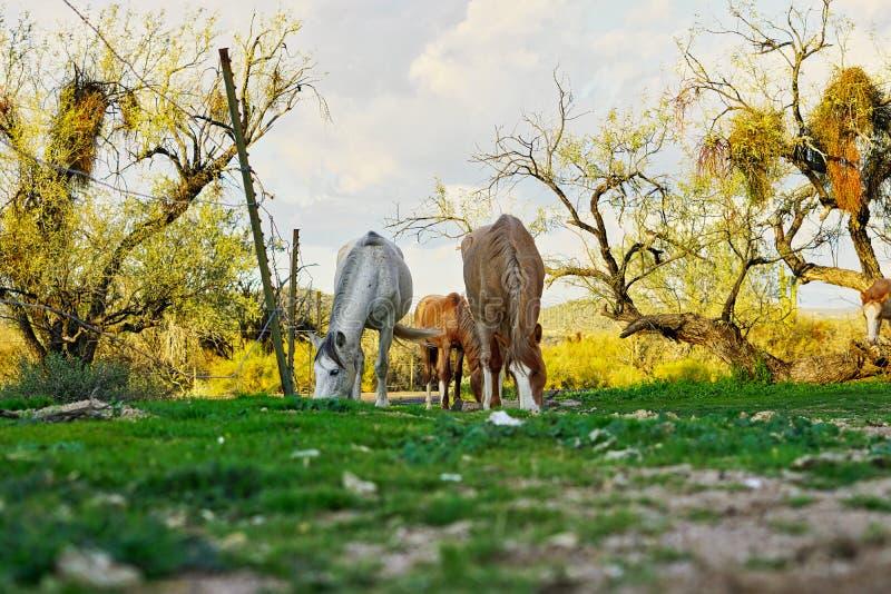 Cavalos selvagens situados na terra da reserva indígena de Pima-Maricopa pelo Salt River mais baixo no Arizona foto de stock