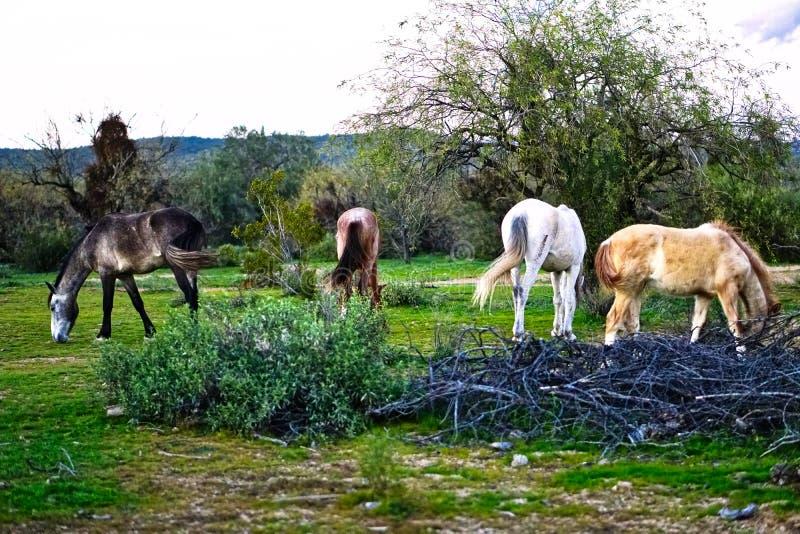 Cavalos selvagens situados na terra da reserva indígena de Pima-Maricopa pelo Salt River mais baixo no Arizona imagem de stock